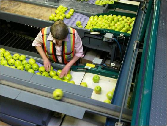 Person sorting apples