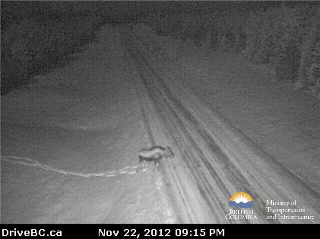 BC Highway webcam moose