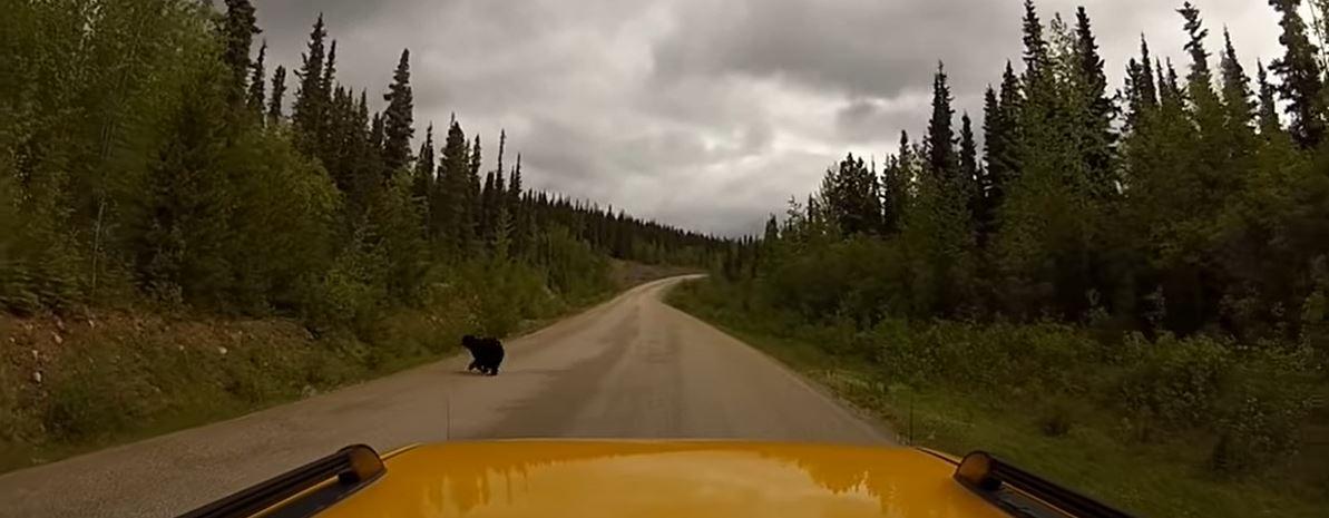 bear crossing the road