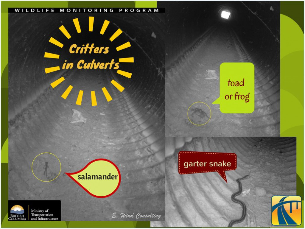 Critters in culverts