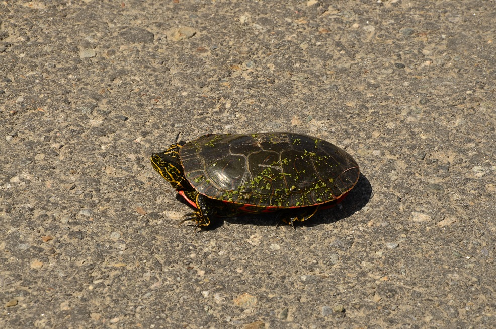 turtle highway safety