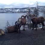 Bighorn Sheep in Okanagan
