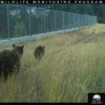Bear and cub overpass