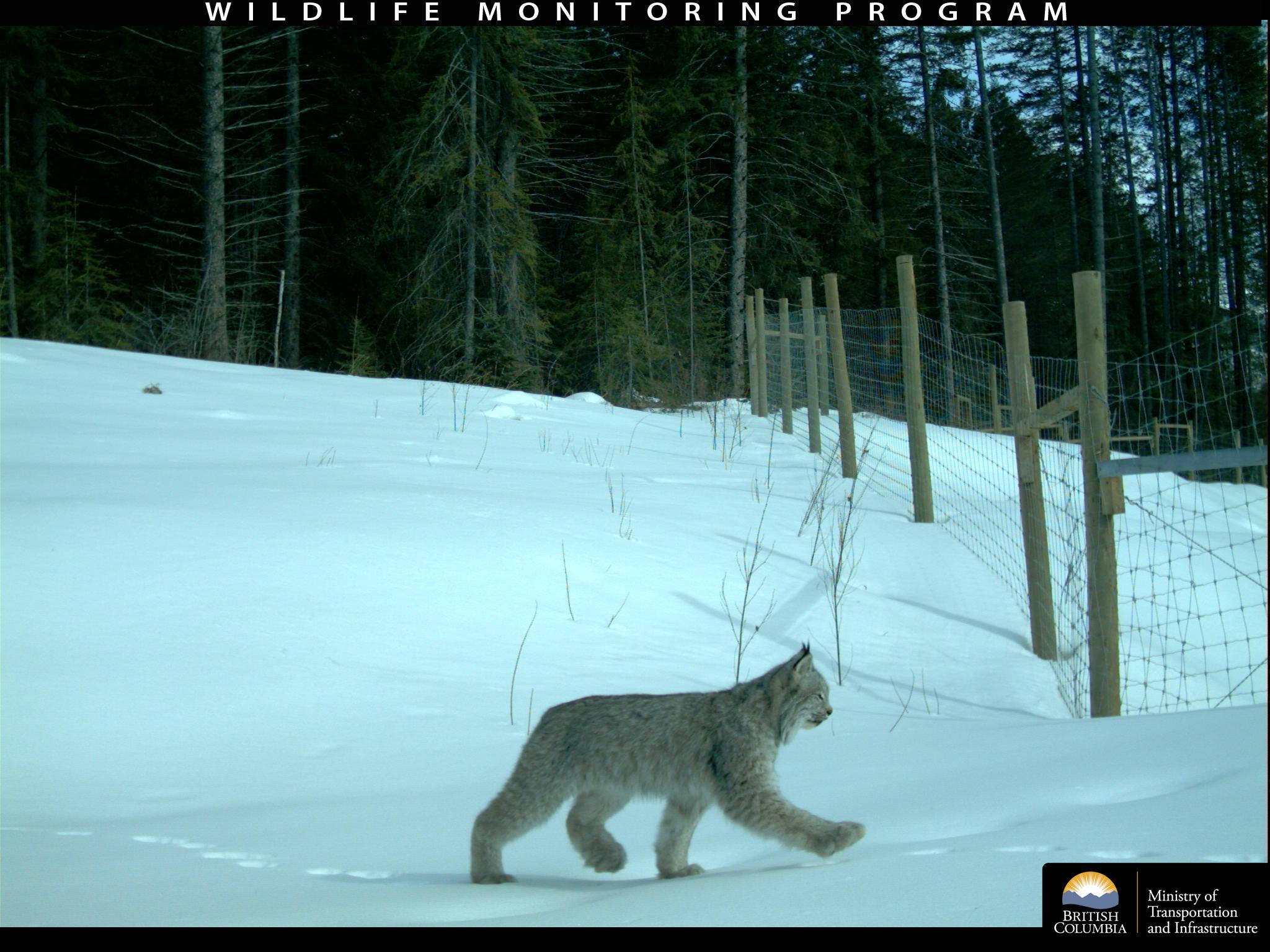 BC Highway Wildlife Cam Captures Moose Selfie and More