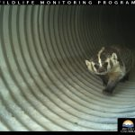 """Burrowing Badger Caught on BC Wildlife Underpass Cam"" is locked Burrowing Badger Caught on BC Wildlife Underpass Cam"