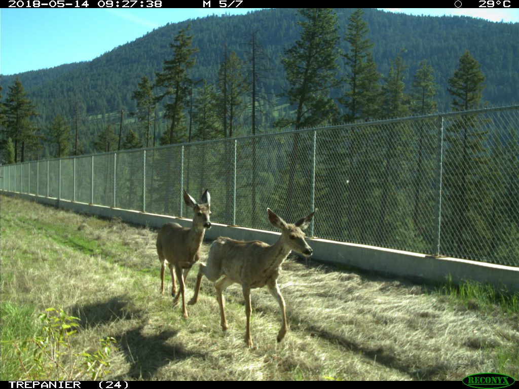 Two mule deer on overpass