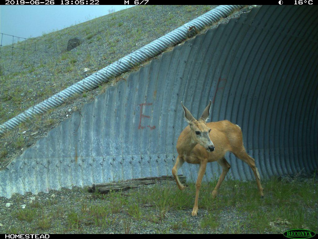 mule deer in underpass