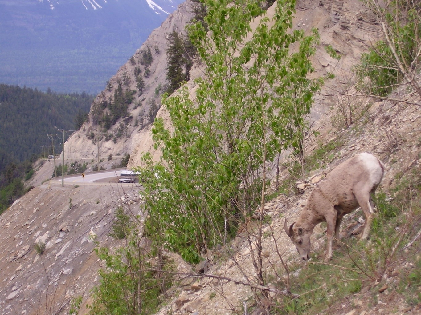 Wildlife grazes alongside the Kicking Horse Canyon stretch of BC Highway 1 - the Trans Canada